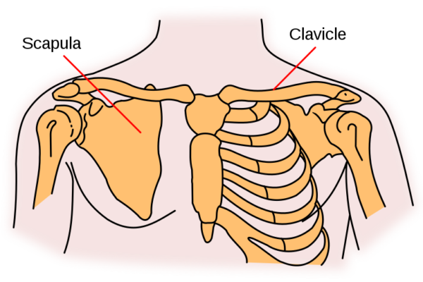 Kosti ramenskega obroča anatomija