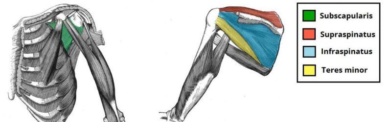 Mišice rotatorne manšete anatomija
